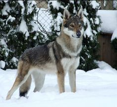 Czechoslovakian wolf dog. One day I hope to have one