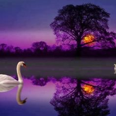 ~✿♛❀~Swan at sunset~✿♛❀~