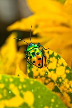 Jewel Bug - My list of the most beautiful animals Reptiles, Lizards, Amphibians, Shield Bugs, Pictures Of Insects, Cool Bugs, A Bug's Life, Beetle Bug, Beautiful Bugs