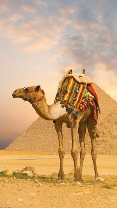 Camel And Pyramids iPhone 5 wallpapers, backgrounds, 640 x 1136
