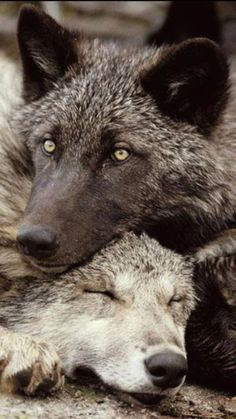 - Welcome to our website, We hope you are satisfied with the content we offer. Wolf Images, Wolf Photos, Wolf Pictures, Beautiful Wolves, Beautiful Dogs, Animals Beautiful, Cute Animals, Wolf Husky, Wolf Spirit Animal