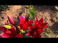 Flowers. Lily - the variety and types of lilies. Slideshow with music. - YouTube