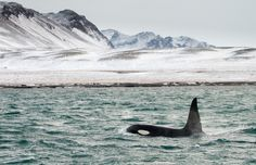Orca of Iceland