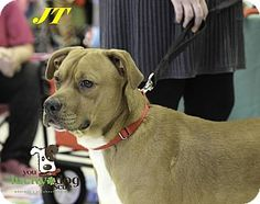 Alpharetta, GA - Boxer/Chihuahua Mix. Meet JT, a dog for adoption. http://www.adoptapet.com/pet/14737021-alpharetta-georgia-boxer-mix