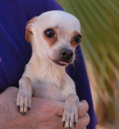05/30/2016 ADOPT SENIOR DOG Anthony, a tiny and gentle sweetheart, just asks for compassion in exchange for his unconditional love. He is a Chihuahua mix, 7 years of age and neutered, great with other dogs, and debuting for adoption today at Nevada SPCA (www.nevadaspca.org). Anthony was found on the streets with no sign of responsible ownership (no ID tag, no microchip ID, not neutered).
