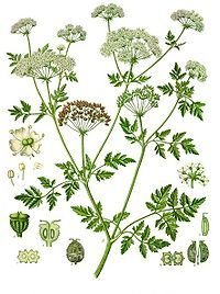 poisonous hemlock | 'crown'd with rank fumitor and furrow-weeds / with burdocks, hemlock, nettles, cuckoo-flowers | king lear