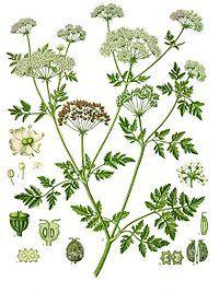 poisonous hemlock | 'crown'd with rank fumitor and furrow-weeds / with burdocks, hemlock, nettles, cuckoo-flowers | king lear
