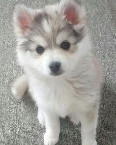baby animals puppies Hes so cute I wanna die! Cute Baby Dogs, Baby Animals Super Cute, Cute Little Animals, Cute Funny Animals, Funny Dogs, Cute Husky Puppies, Super Cute Puppies, Cute Little Puppies, Pomeranian Husky