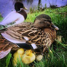 Onder moeders vleugels... #eendjes #eend #lente #voorjaar #bird #birds #duck #sloot #birdwatching #igbirdfreaks #beautiful #instabird #tagsta_nature #feather #newborn #birdsofinstagram #bestbirds #birdstagram #wings #naturelover #natureonly #natureporn #instagallery by moniquebuttinger