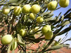 5 Native Edible Plants for the Urban Garden - Urban Locavore Fruit Plants, Desert Plants, Edible Plants, Fruit Trees, Aboriginal Food, Native Foods, Tropical Fruits, Organic Gardening, Garden Plants