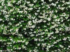 Jasmine is a common outdoor vining plant in warmer climates but can do well indoors anywhere where there's enough natural day light. Its smell can help improve sleep quality and alertness.