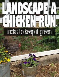 Coop Friendly Plants to Plant in your Chicken Run for Shade and Forage - Hawk Hill