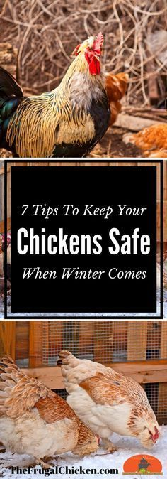 Chickens do well in winter weather, but there are some critical precautions you should take before the mercury dips. Here's 7 tips to keep your flock safe.
