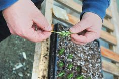 Is your rosemary looking shabby? Then you need to grow new ones. Check out how to propagate rosemary cuttings and grow new healthy rosemary.