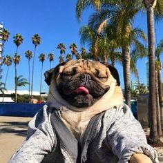 adventures of pug Cute Cartoon Animals, Cute Baby Animals, Funny Animals, Doug The Pug, Funny Dogs, Cute Dogs, Baby Pug Dog, Pugs In Costume, Carlin