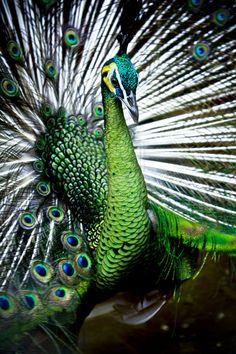 Peacock, pretty colors!