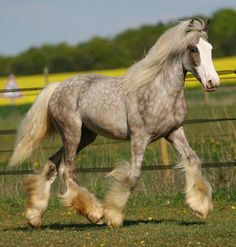 The Silver Dapple Sweetie. #horses