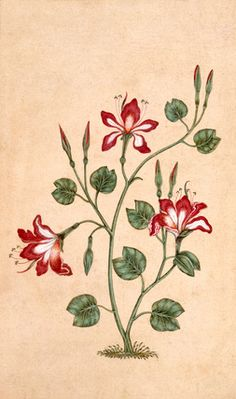 """A flowering plant with red and white flowers """"Small Clive Album"""" V&A Mughal Miniature Paintings, Mughal Paintings, Botanical Flowers, Botanical Prints, Mandala Painting, Watercolor Print, Islamic Art, Indian Art, Vintage Flowers"""