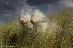 Old English sheepdog sisters love to take photos. Truly magical.