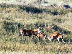 Die Hirschbrunft am Darßer Ort   Junge Hirsche kämpfen spielerisch am Darßer Ort (c) FRank Koebsch (2)