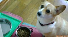 コーギーももちゃん愛犬