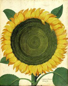 Chrysanthemi Peruniani maximus (sunflower)