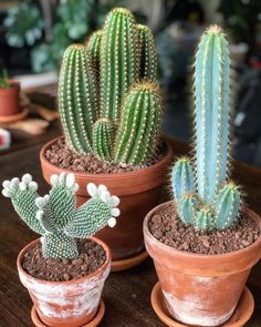 Cactus - My new cacti family! I got them at the same cactus nursery as my Stephania Cepharantha My new cacti family! I got them at the same cactus nursery as my Stephania Cepharantha Succulent Arrangements, Cacti And Succulents, Planting Succulents, Planting Flowers, Cactus Decor, Plant Decor, Kaktus Illustration, Cactus Plante, Cactus Flower