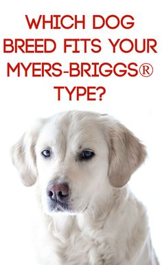What dog breed best fits your Myers-Briggs® personality type? Find out in this revealing post! #INFJ, #INTJ, #MBTI, #ENFJ, #ENFP, #INFP
