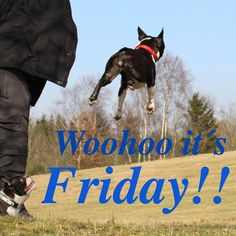 Woohoo It's Friday! - This Boston Terrier Dog is Happy while the Other is Watching!