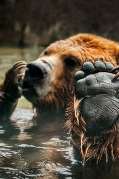 Talk to the Paw - Brown Bear in pool makes morning ---- grizzly bear Ursus arctos abulationabulations Nature Animals, Animals And Pets, Funny Animals, Cute Animals, Wild Animals, Baby Animals, Beautiful Creatures, Animals Beautiful, Animals Amazing