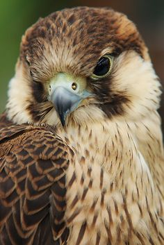 ~~Barbary Falcon by Lindie~~