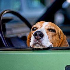 Beagle impatient for his car ride!