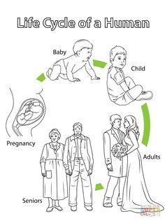 Risultati immagini per schede ciclo della vita dell'uomo