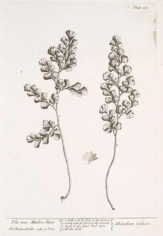 The true maiden hair.  [Adianthum vulgare.] (1739)