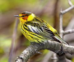 . Cape May Warbler