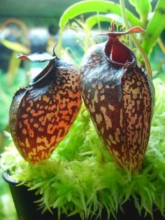 Nepenthes aristolochioides Picture by sockhom, Northern France
