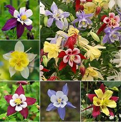 """Package of 500 Seeds, Columbine """"Giant Star Mckanas"""" (Aquilegia caerulea) -- perennial that grows well starting from seed Perennial Flowering Plants, Full Sun Perennials, Best Perennials, Flowers Perennials, Planting Flowers, Garden Plants, Shade Garden, Columbine Flower, Giant Star"""