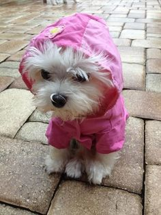 So adorable! Cutest little Maltese Dressed for rain Teacup Puppies, Kittens And Puppies, Baby Puppies, Cute Puppies, Cute Dogs, Teacup Maltese, Coton De Tulear, Dog Pictures, Animal Pictures