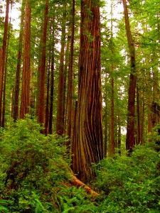 Redwoods, Crescent City, CA