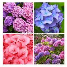 A collection of Hydrangea flowers close up Stock Photo