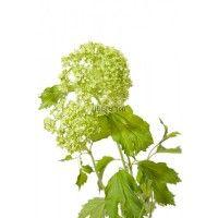 Вибурнум (Viburnum Roseum)