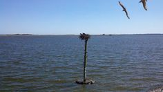 Osprey nest at Basnight's Lone Cedar Cafe