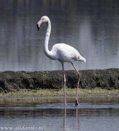 Flamingo in de polder