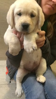 English Labrador Retriever Cute Puppy Alert Visit our poster store com labradorretriever is part of Lab puppies - Puppies And Kitties, Cute Puppies, Cute Dogs, Doggies, Labrador Retrievers, Baby Animals, Funny Animals, Cute Animals, Sweet Dogs