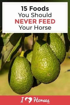 Horses love treats, but you have to sure you never feed your horse anything on this list. It could lead to serious health problems. Find out which foods to avoid feeding your horse here. | #ihearthorses #horsefacts #horsefood #horsefeed #horses #horseownertips