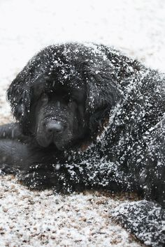 Snow covered Newfoundland dog.