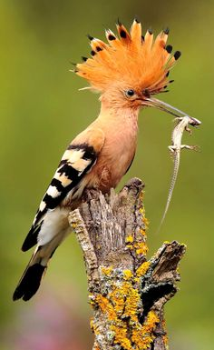 Hoopoe with dinner! - The hoopoe is a colourful bird that is found across Afro-Eurasia- ahead of this time