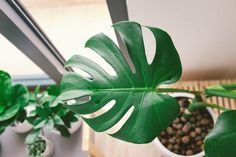 garden care view How to Care for a Monstera Indoor Plant Mon… - Modern Faux Philodendron, Ficus, Monstera Deliciosa, Garden Care, Brick Patterns Patio, Elephant Ear Plant, Hanging Succulents, Purple Christmas, Spider Plants