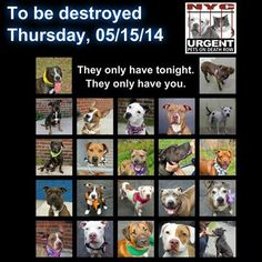 TO BE DESTROYED - 05/15/14 PITTIES ARE IN DANGER AGAIN. ALL THESE DOGS COUNT ON US!!! LET'S NOT LET THEM DOWN!!! PLEASE OPEN YOUR HEARTS AND PLEDGE, TAKE THEM HOME, BUT BE QUICK AS TIME IS TICKING AWAY. THE LIST IS VERY LONG AGAIN AND WE WE HAVE SOLITTLE TIME SO BE QUICK WHEN MAKING UP YOUR UP. https://www.facebook.com/media/set/?set=a.611290788883804.1073741851.152876678058553&type=3