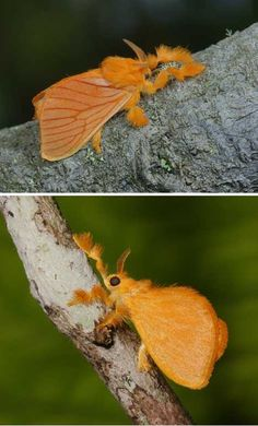 Acraga coa, a moth with warm rich orange colour and fluffy tufts on its legs. It is native to South America. Crawling Bling: Trippy Tropical Jewel Caterpillars - WebEcoist